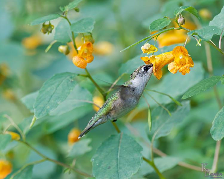 DSC_9472 the hummingbirdsof Clove Lakes_DxO