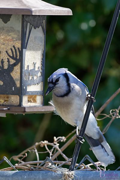 DSC_9380 backyard visitors_DxO