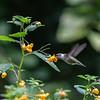 DSC_1351 hummingbird