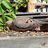 DSC_3336 morning dove