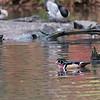 DSC_8402 wood duck