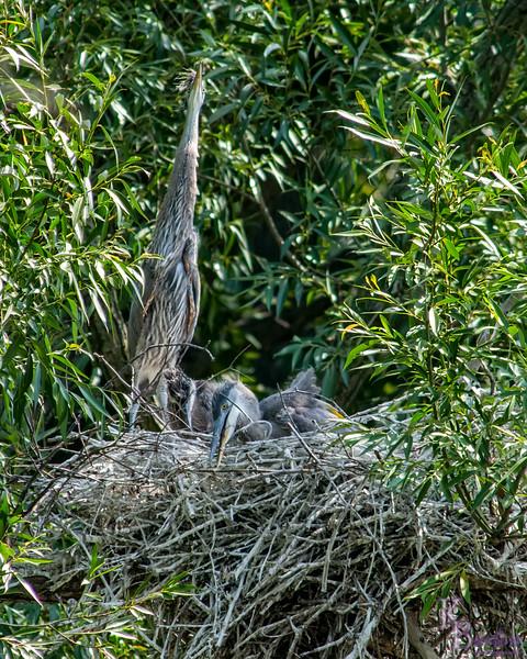 DSC_8829 heron's nest