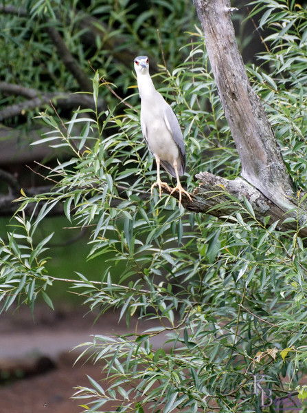 DSC_2708 night heron_DxO