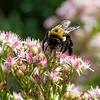 DSC_7024 bumble bee