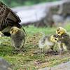 DSC_4114 goslings