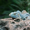 DSC_4720 blue iguana