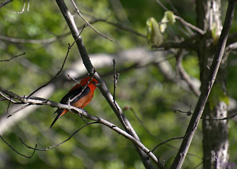 DSC_3157 scarlet tanager