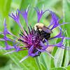 DSC_5986 bumble bee