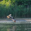 DSC_0104 osprey on the hunt_DxO(TG)_DxO
