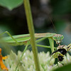 DSC_9927 garden predator_DxO