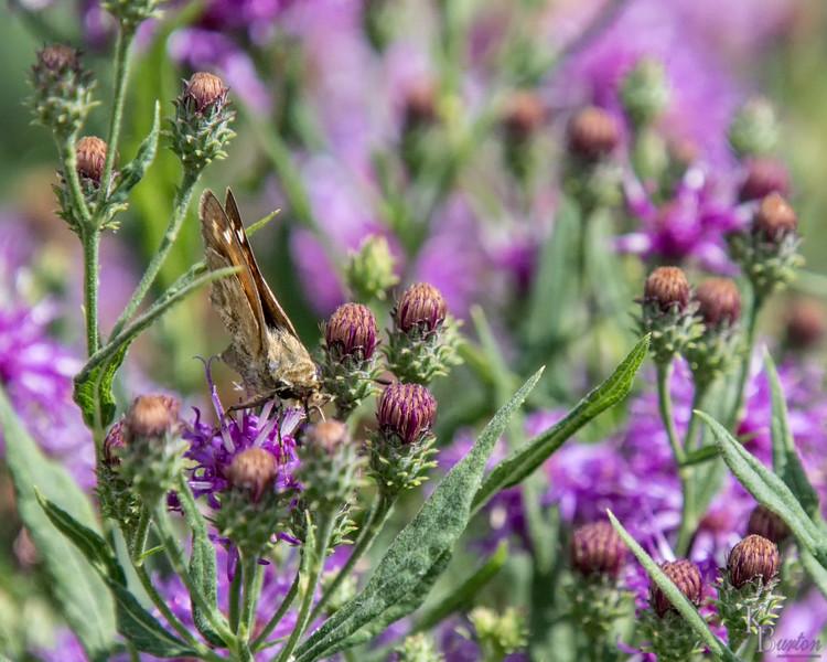 DSC_4425 moth
