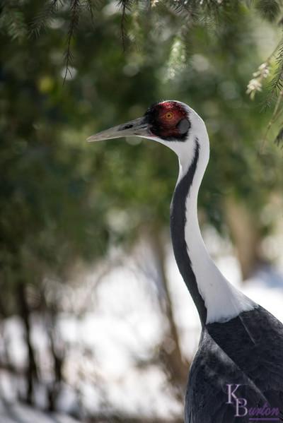 DSC_0424 white napped crane