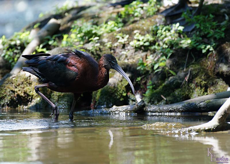 DSC_1270 scarlet ibis_DxO - Copy
