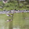 DSC_5715 grey plover