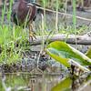 DSC_2470 green heron