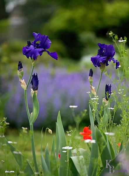 DSC_9190 purple iris