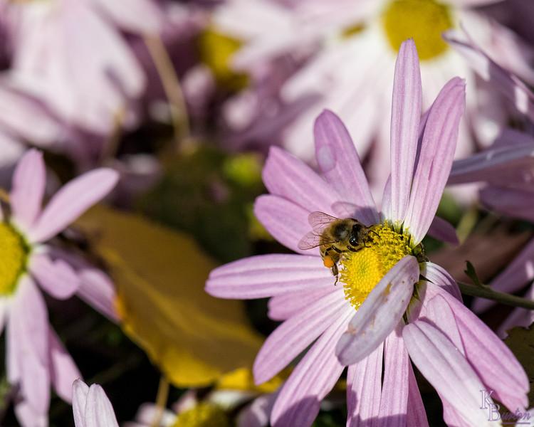 DSC_9344 Honey bee