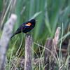 DSC_8916 red wing black bird_DxO