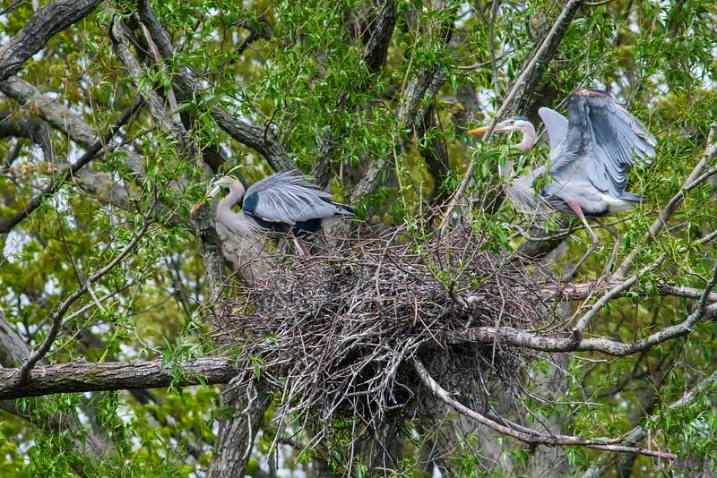 DSC_4835 nesting pair of heron's