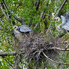DSC_4835 nesting pair of heron's