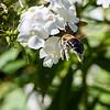 DSC_5812 bumblebee
