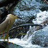 Three months before I captured this unusal shot, (which I could have only captured in the wild with the current equipment I own) here at Clove Lake, I saw this same bird, on a rock on the other side of this brook at the base of this same waterfall at Clove Lake. My friend Joyce from New Hampshire knew it was a Black crowned heron. It's nocturnal, which probably explains why I never saw it before. I read that they will feed during the daytime during the breeding season when they need extra energy for nesting.  Someone more knowledgeable that I can tell me when their breeding season is, but regardless there he was, and I raced down the brook and hopped over the rocks then slowly walked up the brook in an attempt to get a shot of it with the waterfall as a nifty backdrop. But birds are impossible to sneak up on and it flew away as I got some fuzzy shots of it taking off from the rock. (Would have been great shots if they were sharp.) <br /> <br /> Then this day I saw it again on the same side of the brook that I was on. I snapped off some shots right away and then VEEERY slowly worked my way down the slippery embankment, taking pictures every few feet. It obviously had become more tolerant of people since our last encounter, and I was able to get amazingly close before I dared not move any closer. How close?? I used my 55-200mm zoom and this shot WASN'T cropped. A small group of mosquito's had a field day with me as they seemed to know I couldn't lift a finger to stop them or the bird would have flown the coup. It was maddening but worth it. Thanks Joyce for the I.D.!!