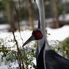 DSC_0436 white napped crane_DxO