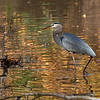 dsc_8567 Heron on the hunt