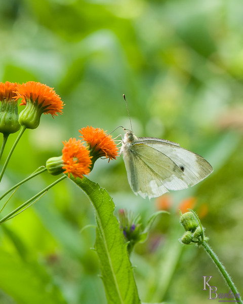 DSC_4114 cabbage white butterfly