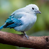 DSC_7024 blue grey tanager