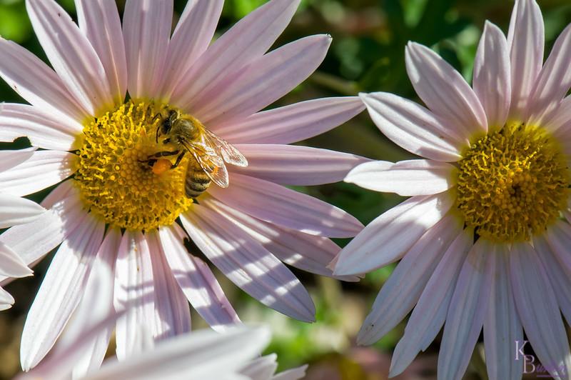 DSC_9142 honey bee