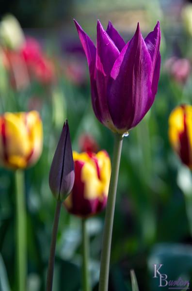 Purple dream tulips
