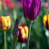Purple dream tulips