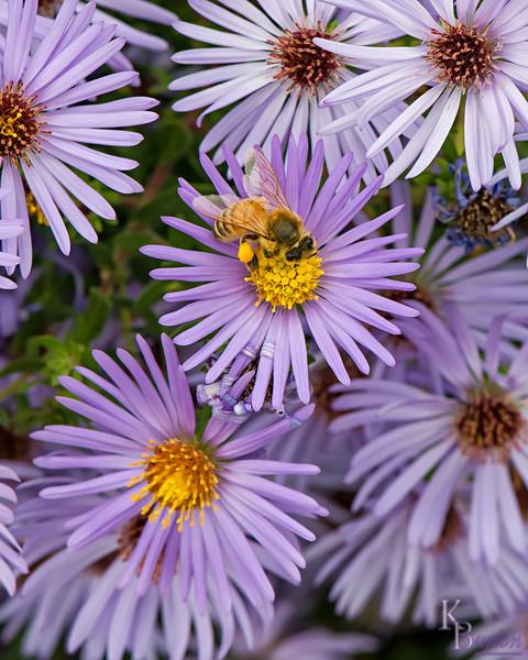 DSC_0964 honeybee