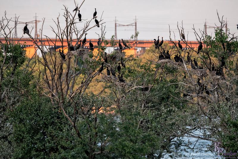 DSC_2320 cormorant rookery