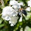 DSC_5813 bumblebee