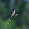 DSC_9505 eastern kingbird_DxO