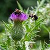 DSC_8948 bumble bees