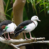 DSC_0651 Radjah shelducks_DxO