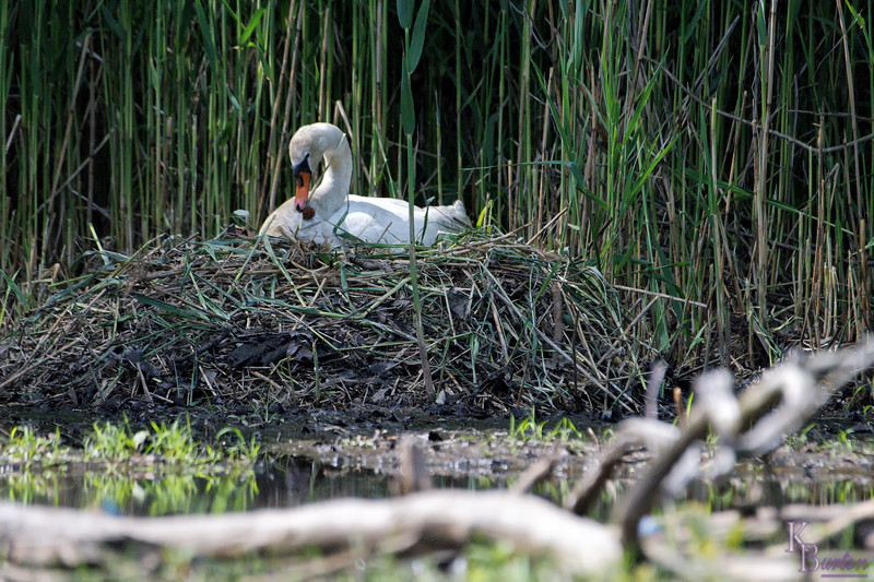 Momma tidies up the nest in preparation for her new bundles of joy.