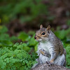 DSC_4413 Squirrel