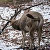 DSC_8518 Pere David's deer