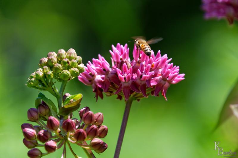 DSC_1729 honey bee_DxO