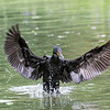DSC_1401 cormorant