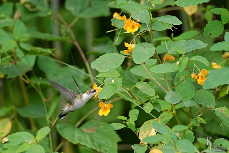 DSC_7791 the hummingbirds of Clove Lake_DxO