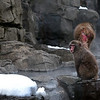 dsc_ 1942 snow monkeys by hot spring pool