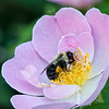 DSC_6077 bumblebee