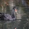 DSC_0043 black swan