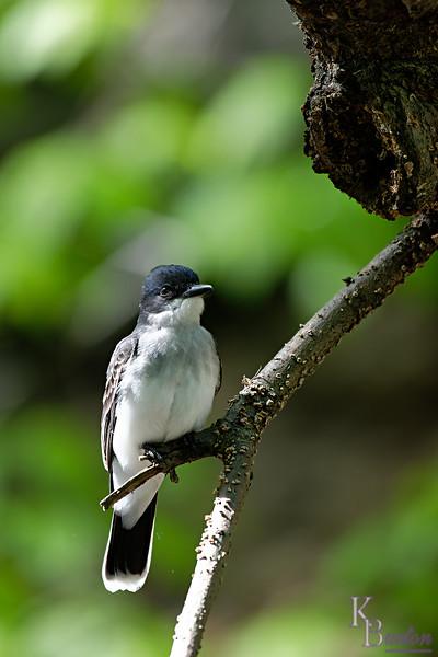 DSC_1555 eastern kingbird_DxO