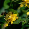 DSC_4589 bumblebee foraging